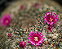 Small barrel cactus flowers. Composite of 13 focus stacked images taken with a Nikon Df camera and 105 mm f/2.8 VR macro lens (ISO 100, 105 mm, f/4, 1/125 sec) and SB-910 flash (EV -2). Images processed using Helicon Focus - Method A (weighted average, R = 8, S = 4).