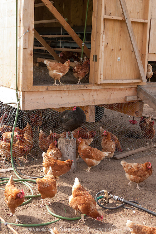 A movable shelter for chickens known as a chicken tractor