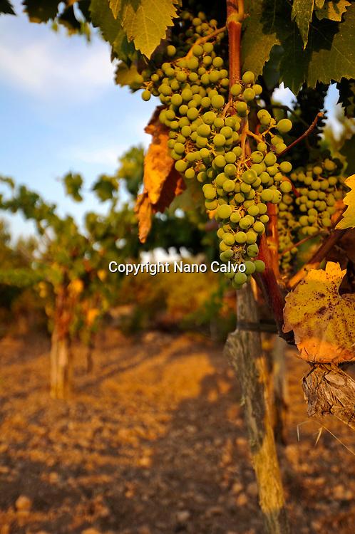 Vineyards in Ibiza, Spain