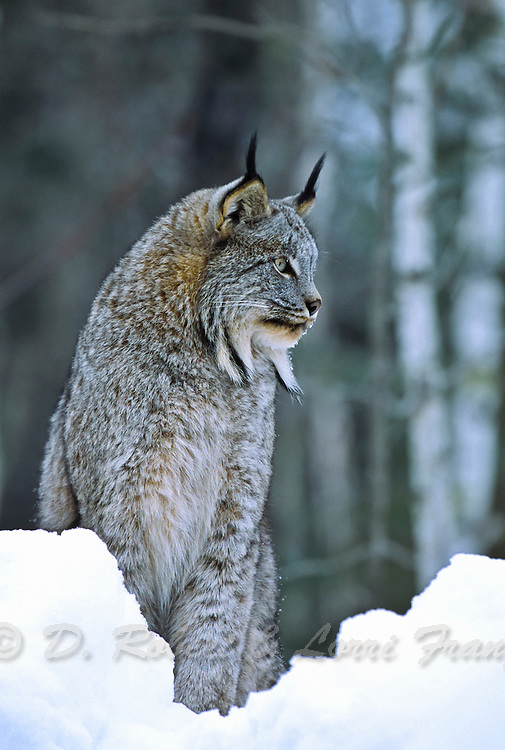 Lynx during winter in snow and cold (Lynx canadensis)