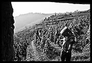 vineyard workers on terraced vineyard, Cote Roti, France