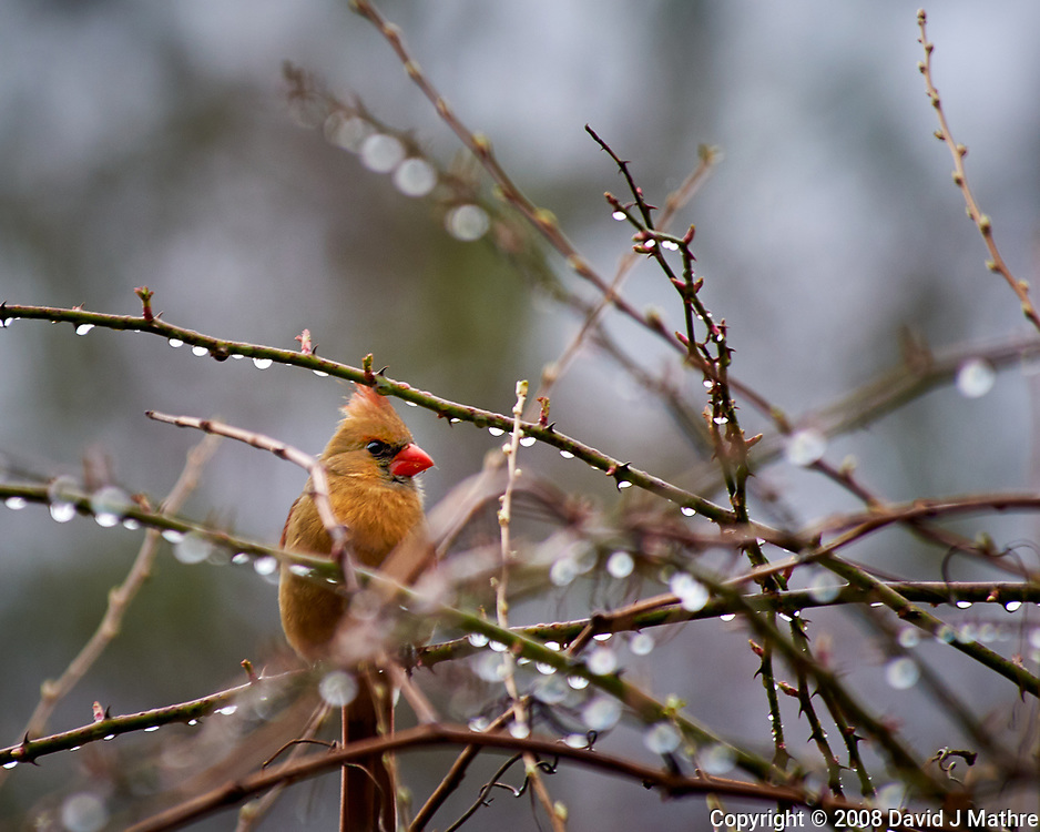 Female northern cardinal in the vines after a morning rain. Late winter backyard nature in New Jersey. Image taken with a Nikon D300 camera and 80-400 mm VR lens (ISO 280, 400 mm, f/5.6, 1/250 sec).