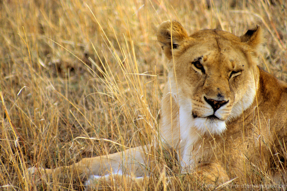 Africa, Kenya, Maasai Mara. Adult female lion, or lioness.