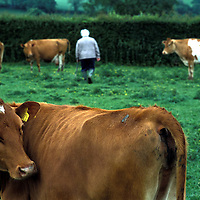 Photo:Steve Forrest/Insight.Date: June 2003..Barbara Lake with her herd of cowws at Priors Coads Green, Cornwall