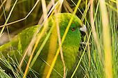 Antipodes Island Parakeet Pictures - Photos