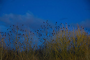 Thousands of American crows (Corvus brachyrhynchos) roost together in the wetlands of Bothell, Washington. As many as 15,000 crows use the roost each night during the winter months.