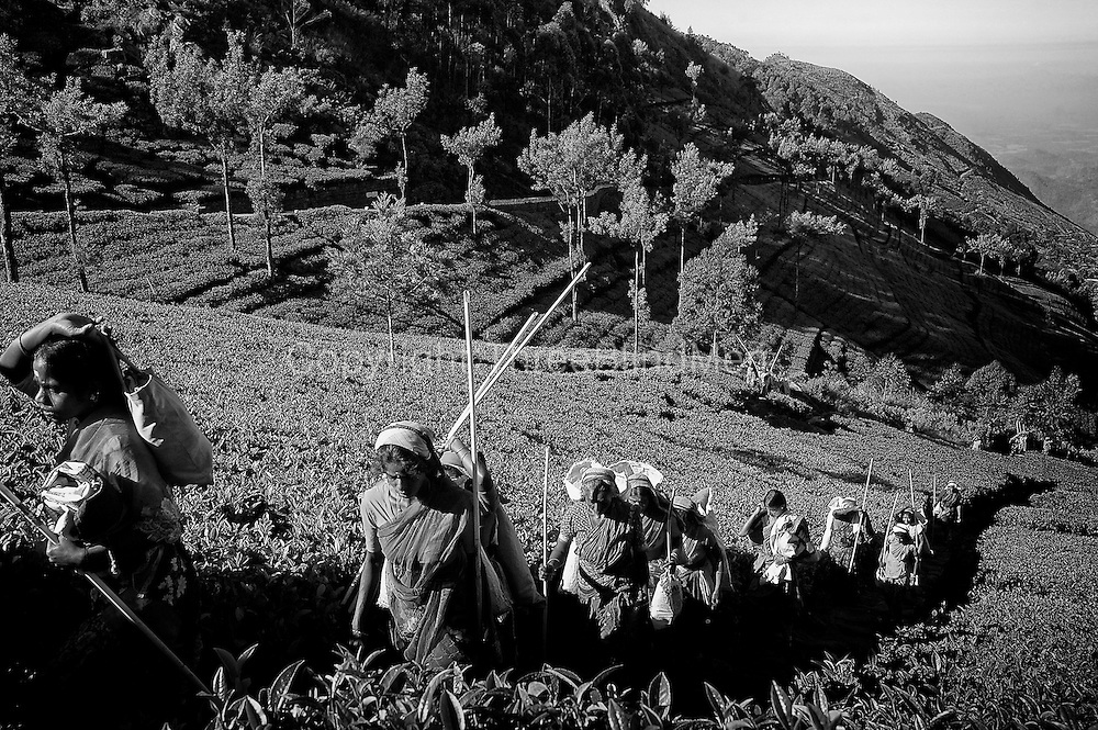 Tea Estate workers climbing up Dambetenne to begin a days work.