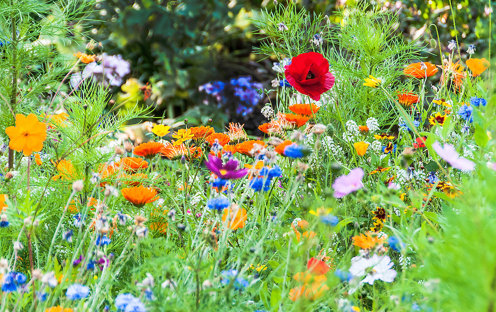 In a medley of colorful flowers, the focus is on one red poppy.