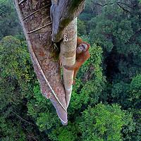 New Orangutans In The Wild