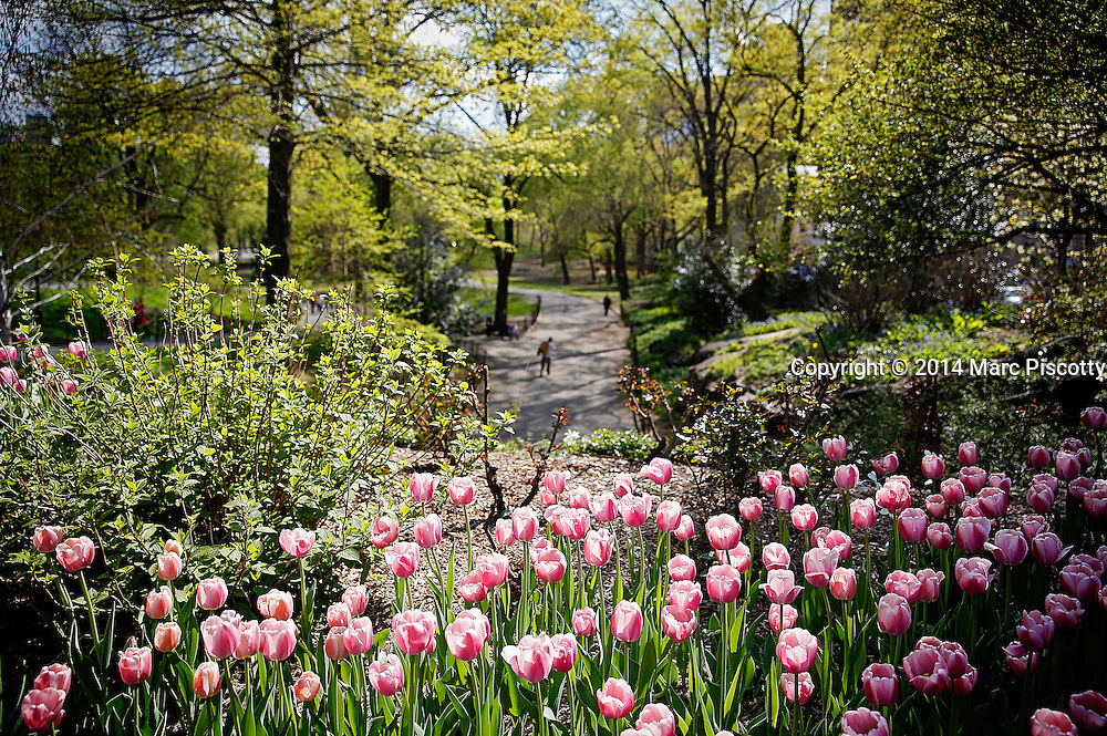 SHOT 5/2/14 1:38:16 PM - Pink tulips in bloom in Central Park in New YOrk City, N.Y. The tulip is a perennial, bulbous plant with showy flowers in the genus Tulipa, of which around 75 wild species are currently accepted and which belongs to the family Liliaceae. Central Park is an urban park in the central part of the borough of Manhattan, New York City. It was initially opened in 1857, on 778 acres of city-owned land, later expanding to its current size of 843 acres. New York is the most populous city in the United States and the center of one of the most populous urban agglomerations in the world—the New York metropolitan area. The city is referred to as New York City or the City of New York to distinguish it from the State of New York, of which it is a part. A global power city, New York exerts a significant impact upon commerce, finance, media, art, fashion, research, technology, education, and entertainment. New York City has often been described as the cultural and financial capital of the world. (Photo by Marc Piscotty / © 2014)