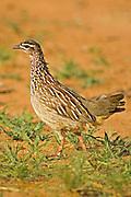 Crested Francolin.Peliperdix sephaena.near Nylsvley, .Limpopo Province,.South Africa.5 January 2006