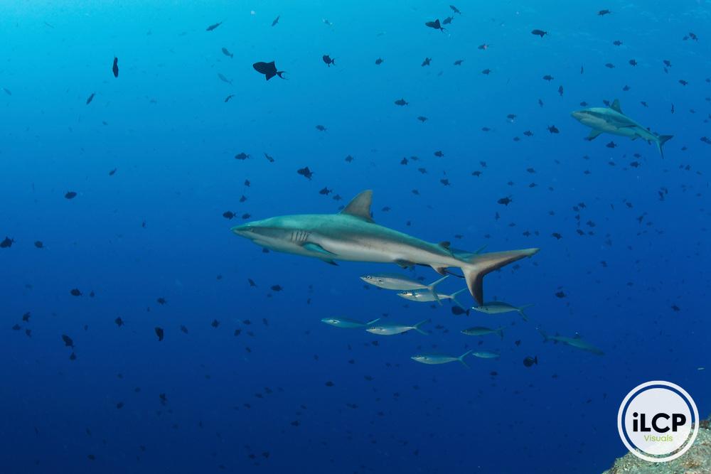Grey reef shark is followed by a small school of Rainbow Runners (Elagatis bipinnulatus)