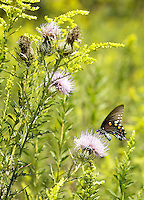A black swallowtail butterfly inspected a thistle during a butterfly identification hike at Raven Run Nature Sanctuary in Lexington, Ky. on Sunday, September 9, 12. About 30 participants heard a brief lecture by naturalist Brian Perry before taking a short hike through the meadow to spot and identify butterflies and moths. Photo by David Stephenson