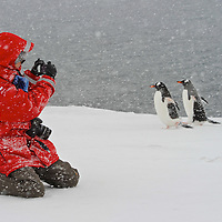 Model Released photo of a tourist photographing three Gentoo Penguins ( Pygoscelis papua) in a snow blizzard.