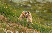 Two Olympic marmots engaged in a pushing match in Olympic National Park.  The Olympic marmot is found on Washington's Olympic Peninsula, living in communities located in alpine meadows.