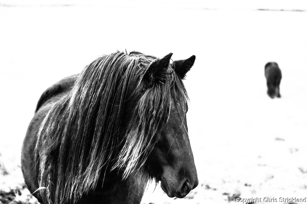 Towford, Jedburgh, Scottish Borders, UK. Fell ponies grazing.