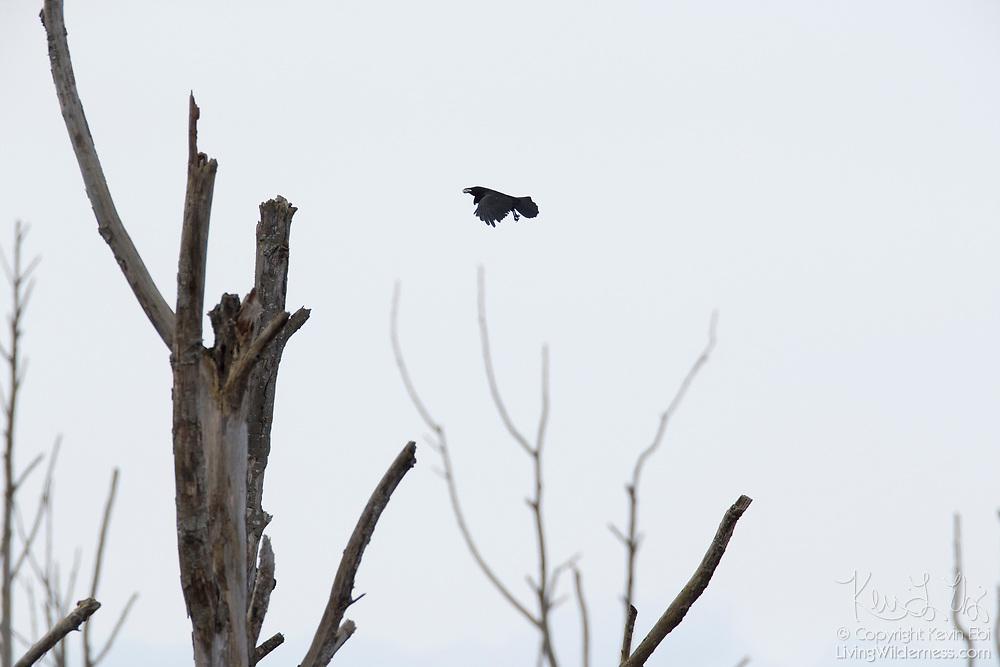 An American crow (Corvus brachyrhynchos) flies with a morsel of food over stark snags along Wiley Slough in the Skagit Wildlife Area near Mount Vernon, Washington.