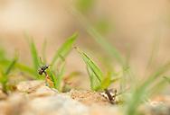 A Cuckoo Bee (Holcopasites calliopsidis) surveys the nest of a potential host species (Lasioglossum sp), Pickens, South Carolina, USA