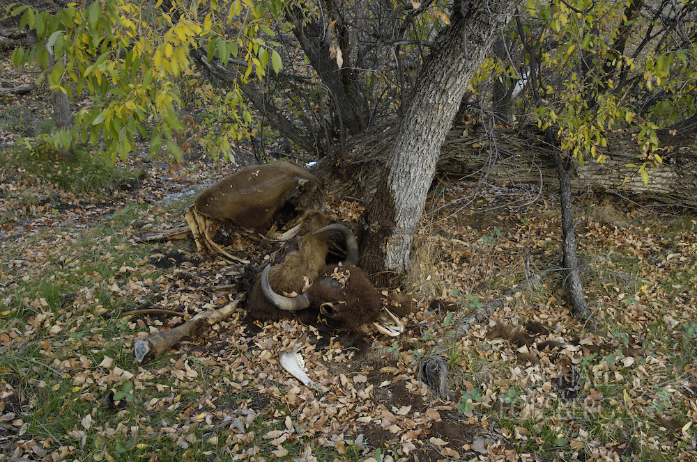 Buffalo Gap National Grassland, South Dakota..Dead bison in spring-fed wooded draw. ..Nutrient re-cycling on the prairie.