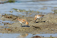 Western Sandpipers (Calidris mauri) forgage in Mud Bay which is part of Kachemak Bay near the Homer Spit in Southcentral Alaska during their spring migration to the arctic. Afternoon.