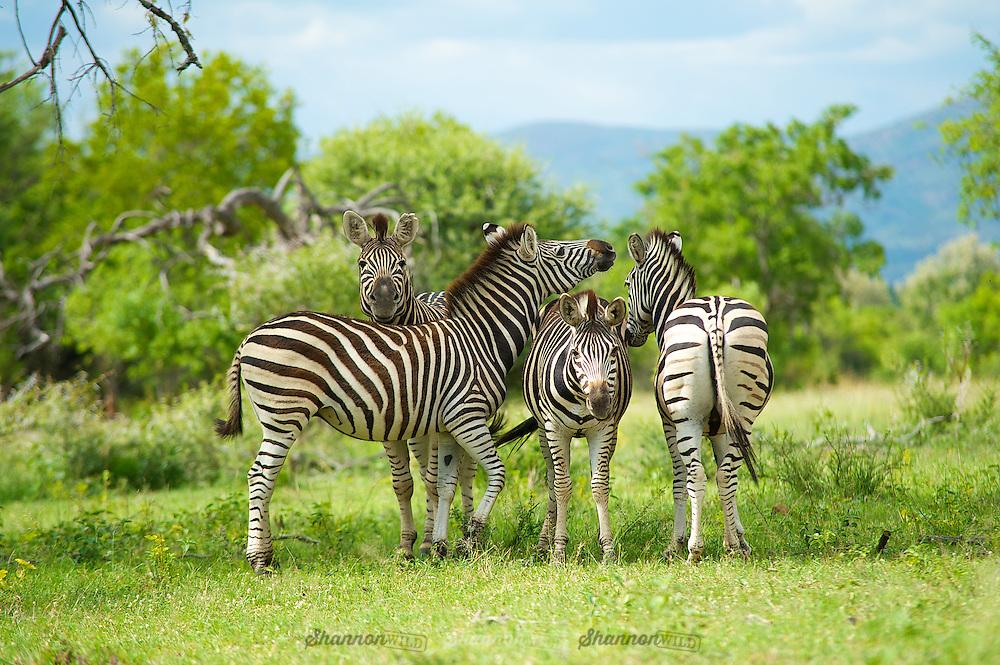 Zebra (Equus sp.) Waterberg, South Africa