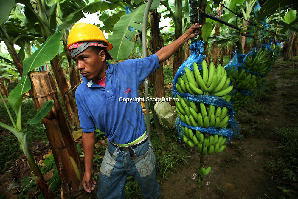 A worker pulls freshly cut bananas to the washing and packing plant at a Banacol plantation in Apartado on July 11, 2007. Colombia?s banana region has long a stronghold for illegal armed groups who apparently funded their wars by taxing the banana industry. American banana executives of the Cincinnati-based fruit giant Chiquita have acknowledged making monthly protection payments for six years to illegal groups that killed thousands of people. (Photo/Scott Dalton)