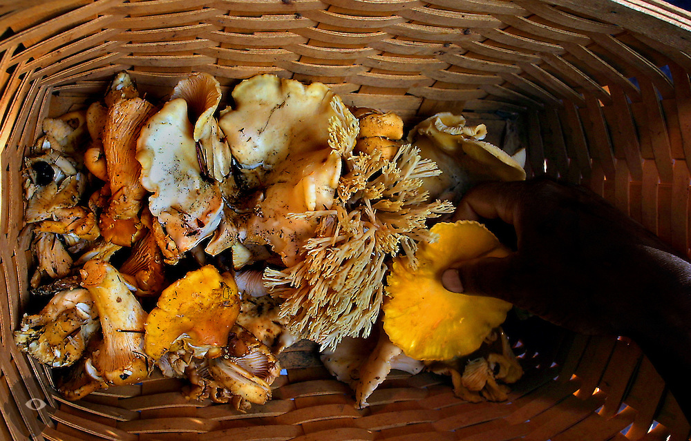 Chef Marco Shaw of NE Portland's Fife Restaurant sorts through a basket of freshly picked  chanterel mushrooms and a few other varieties found while hunting north of Carson, Washington, in the Gifford Pinchot National Forest.
