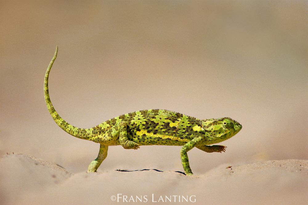 Flap-necked chameleon crossing sand, Chamaeleo dilepis dilepis, Makgadikgadi Pans, Botswana
