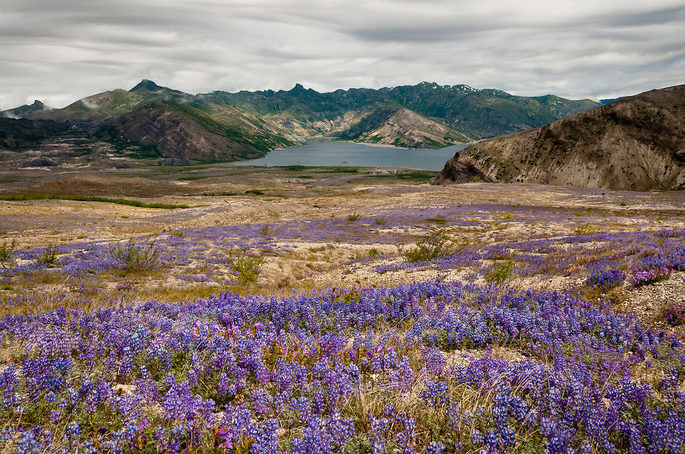 Lupine and penstemon on the Pumice Plain with Spirit Lake in the distance, from Windy Trail, Mount Saint Helens National Volcanic Monument, Washington.