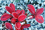 Alaska. Denali NP. Alpine bearberry (Arctostaphylos alpina).