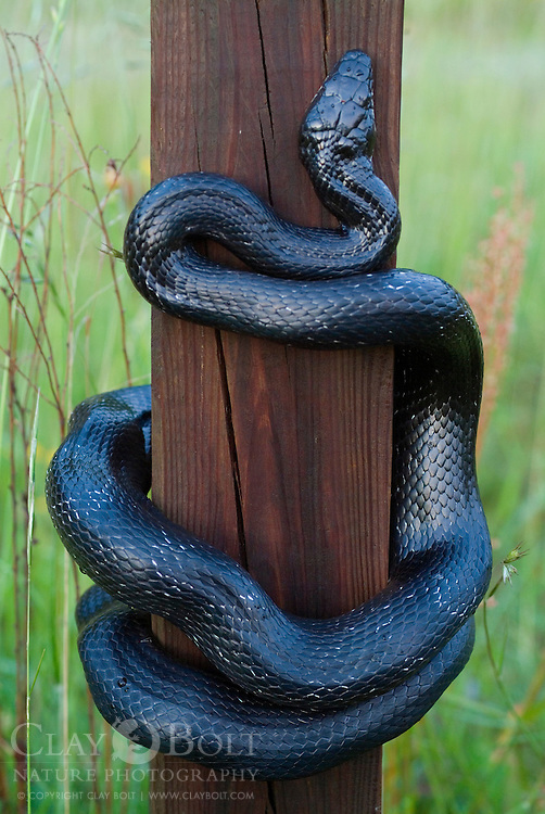 Black Rat Snakes are incredible climbers and are able to use accordion motion to climb up verticle surfaces such as walls, trees and nest boxes. Fortunately for the blue bird family, they had just fledged a few days before leaving the snake with an empty stomach.