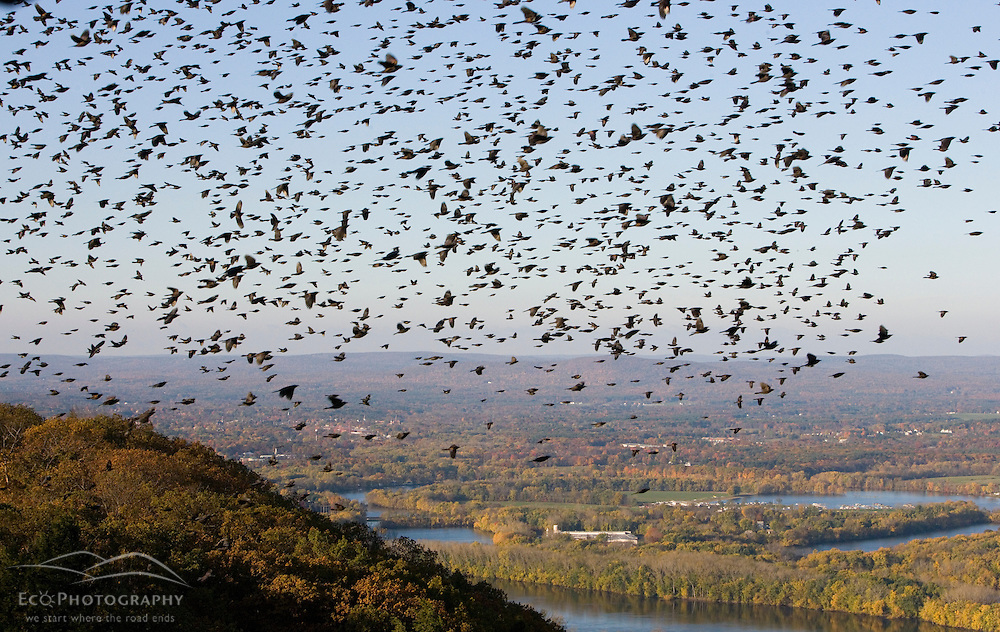 """""""The Oxbow"""" and the Connecticut River as seen from the Skinner Mountain House in Hadley, Massachusetts.  Grackles fill the sky.  Skinner State Park.  Mount Holyoke."""