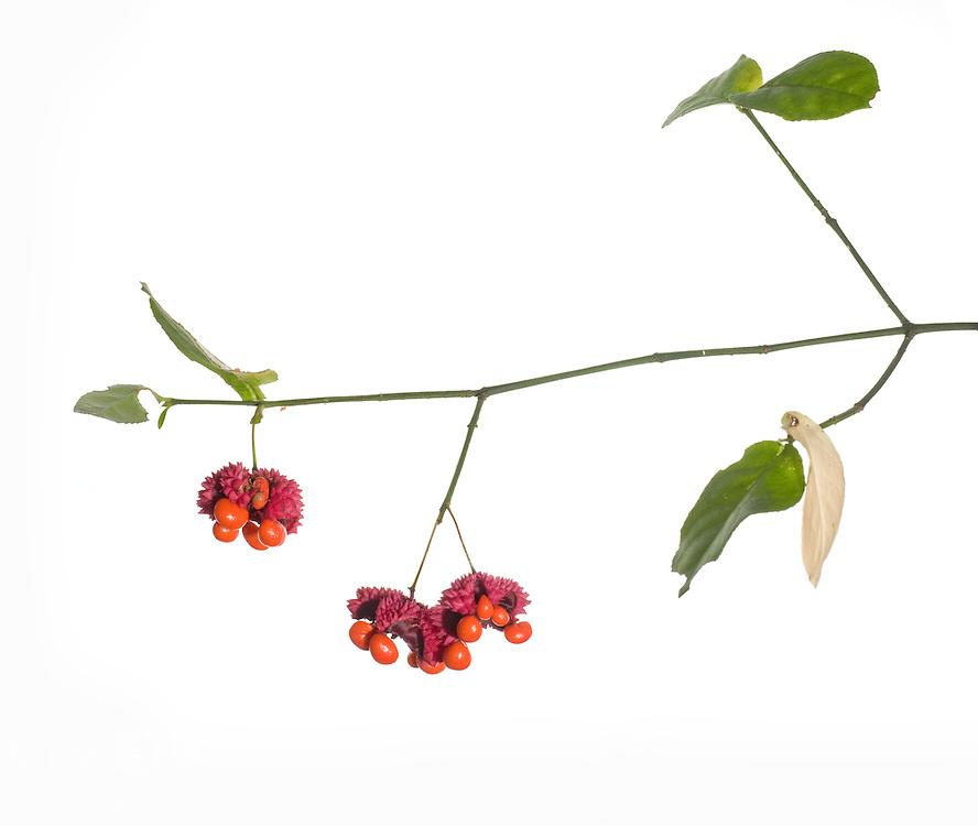 Hearts-A-Bustin; strawberry bush (Euonymus americanus)