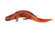 (Northern) red salamander (Pseudotriton ruber ruber)<br /> ALABAMA: Tuscaloosa Co.<br /> Tulip Tree Springs off Echola Rd.; Elrod<br /> 4-May-2016<br /> J.C. Abbott #2808 &amp; K.K. Abbott