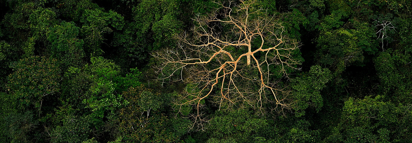 A dead tree protrudes through the jungle canopy on the Mosquito Coast of Honduras.   Jeremy Lock Photography