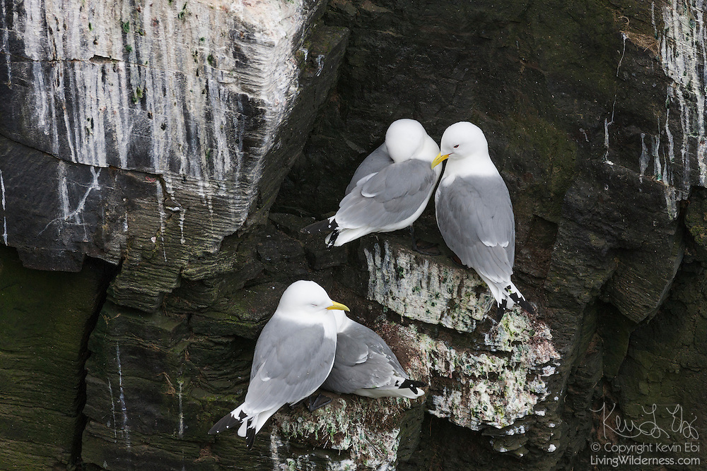 Four common gulls (Larus canus canus) crowd together on a tiny ledge high above Atlantic Ocean on the Látrabjarg bird cliff in western Iceland. Látrabjarg is Europe's largest bird cliff: 14 km (8.7 miles) long and standing up to 440 meters (1444 feet) above the Atlantic Ocean.