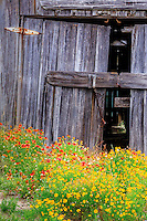 Gaillardia flowers contrast with a old wooden shed in Nags Head on the Outer Banks, NC.