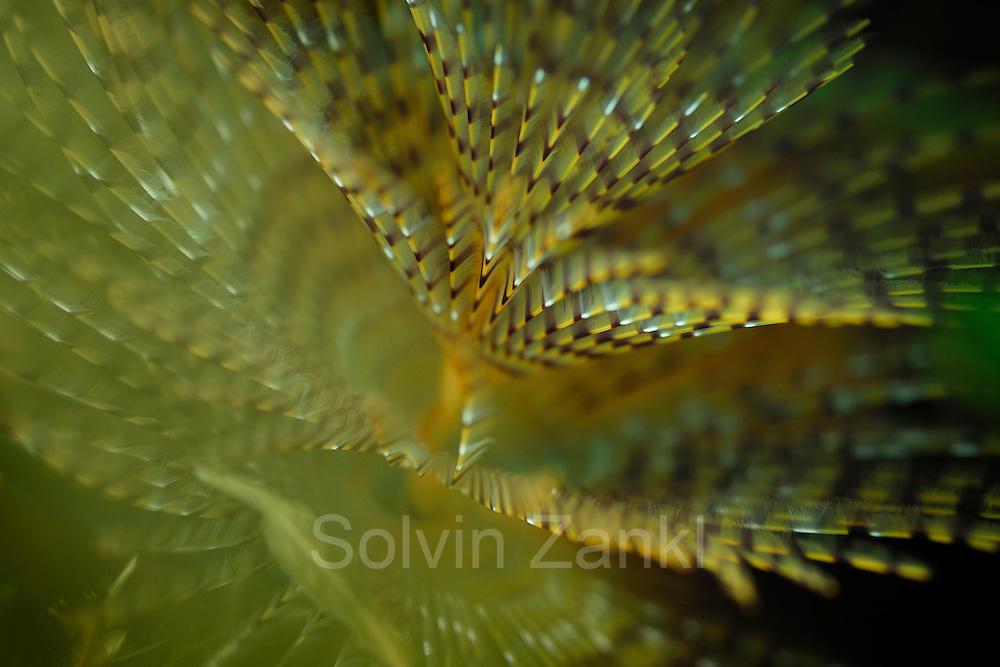 European fan worm (Sabella spallanzanii) is one of the largest species in the family Sabellidae. | Röhrenwurm Schraubensabelle (Sabella spallanzanii)