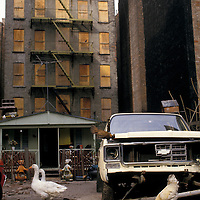 Chickens and geese live along with humans in a shack set up in a vacant lot beneath an abandoned tenement building in the Lower East Side of Manhattan.