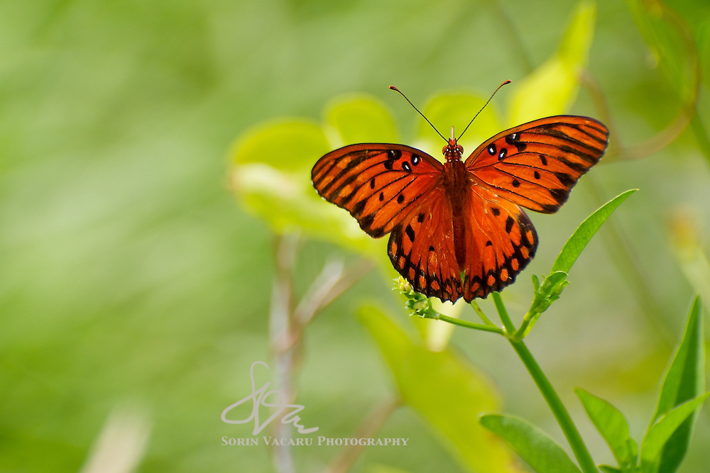 Gulf Fritillary with Backlight