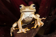 Rosenberg's Gladiator Treefrog (Hypsiboas rosenbergi) CAPTIVE<br /> Choc&oacute; Region of NW ECUADOR. South America