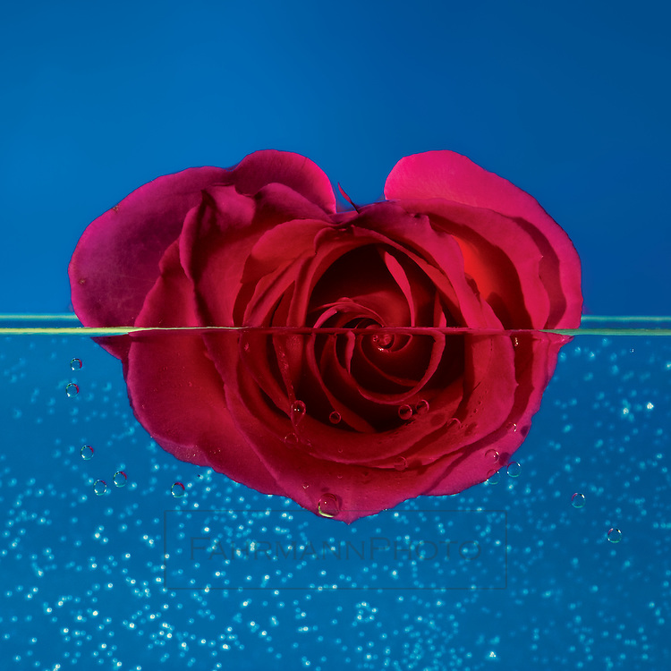 Red Rose Floating In Front Of A Blue Background