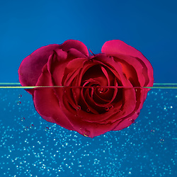 A blooming heart shaped red rose floats partially submerged on still bubble filled water.