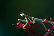 Praying mantis on a firespike bloom.