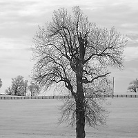 Winter walnut tree in a rural Kentucky horse pasture.  Infrared (IR) landscape photograph by fine art photographer Michael Kloth.
