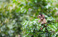Pig-tailed Macaque, Macaca nemestrina, sitting in a tree, Sabah, Malaysia