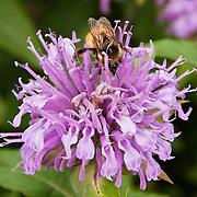 Purple bee balm flowers, Grinnell Glacier Trail, Glacier National Park, Montana, USA. Monarda (bee balm, horsemint, oswego tea, or bergamot) is a genus consisting of roughly 16 species of erect, herbaceous, annual or perennial plants in the family Lamiaceae.