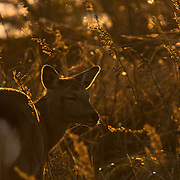 Female sika deer basking in some last autumnal light of the season in Nemuro, Hokkaido.