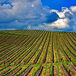 Rolling vineyards, Napa Valley, California