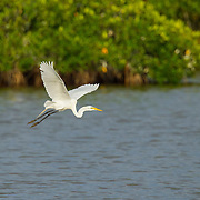 Great Egret <br /> Ardea alba<br /> San Blas, Nayarit, Mexico<br /> 7 June   Adult in breeding plumage leaving breeding colony in Mangroves.    Ardeidae